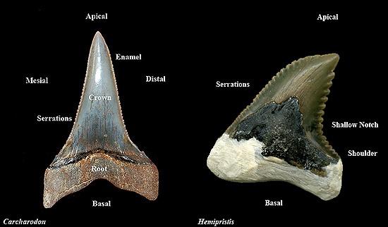 An Ethnographic Analysis Of A Kiribati Shark